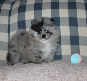 Cute-Blue-Merle-Pomeranian-Puppies